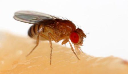 Biologists Have Demonstrated An Optogenetic Pacing In Drosophila Melanogaster